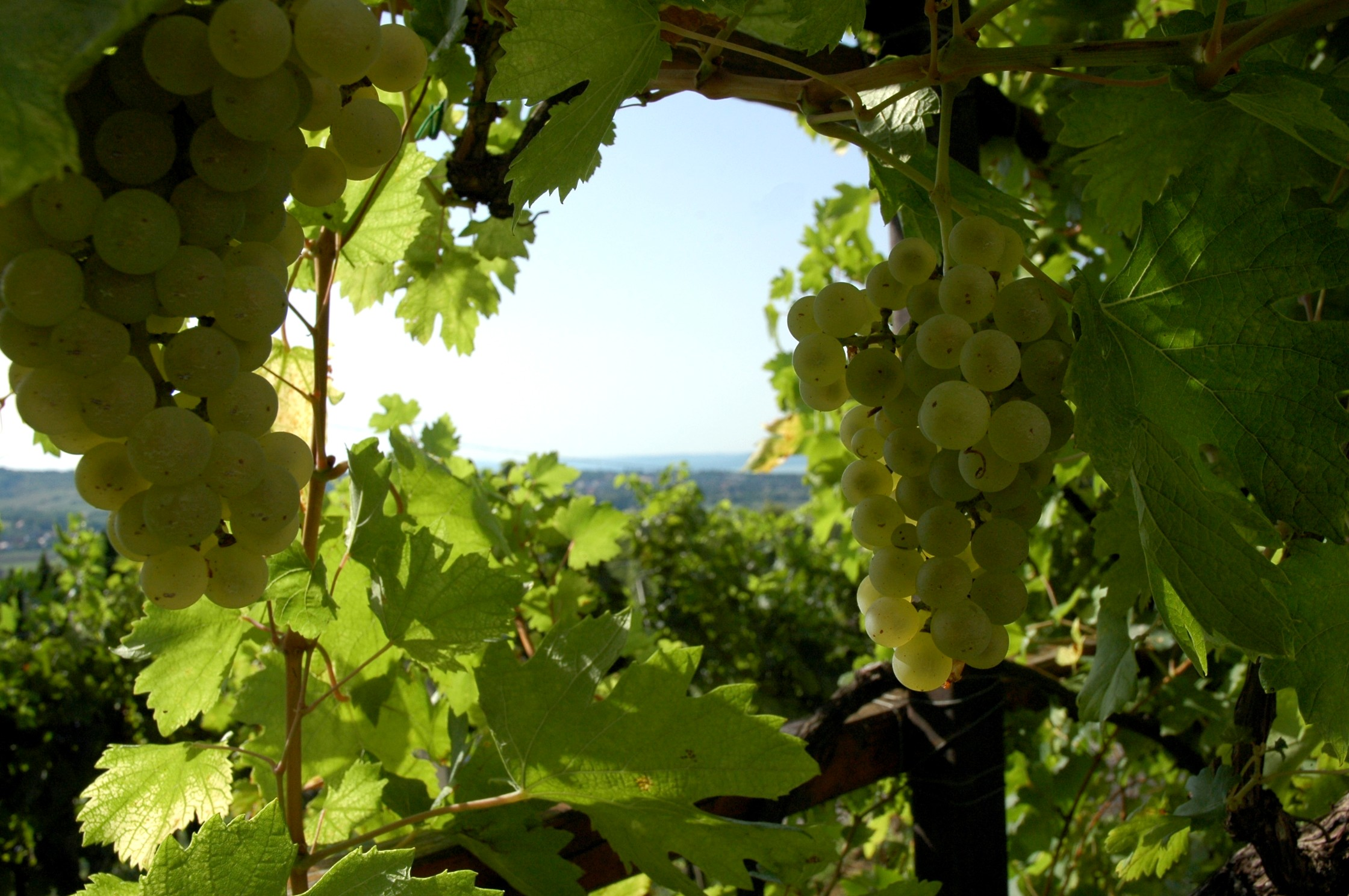 white-grapes-with-balaton-in-background